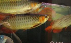 罗汉鱼与龙鱼的混养要点