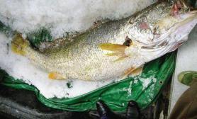 拾获一条鱼贵如黄金卖98万元(图)