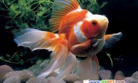 金鱼如何区分雌雄(图)