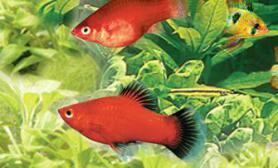 饲养观赏鱼应掌握的一些基本知识(图)