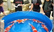 日本锦鲤未受地震影响东方锦鲤天价拍得种鱼(多图)