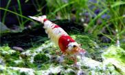水晶虾饵料的挑选注意事项