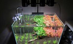 鱼缸造景分享45cm菜園子(一個月狀態)