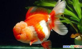 怎么让金鱼快点长大问答(图)