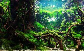 两个景森林效果MOSS杜鹃根沉木