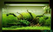 枝繁叶茂的的造景水草缸是我学习的目标