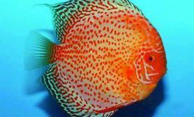 热带鱼发病的主要原因(图)