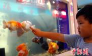世界最好的金鱼出自福州精品身价不菲(图)