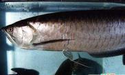 黑龙鱼常见眼部疾病的介绍(图)