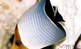 怪蝴蝶鱼的品种介绍