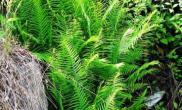 蜈蚣草的品种及其生长特征(图)
