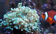 海水鱼缸养好珊瑚十要点(图)