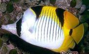 斜纹蝴蝶鱼的品种简介