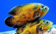 什么鱼可以和地图鱼混养
