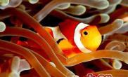 透红小丑鱼的喂食要点