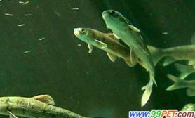 湟鱼保护工作见成果已比10年增加11.6倍(图)