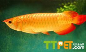 饲养金龙鱼需要注意哪些问题