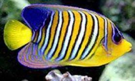 海水神仙鱼的品种介绍(图)