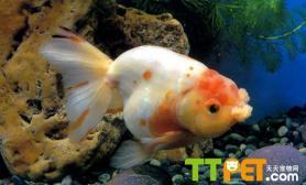 鹤顶红金鱼的繁殖方法