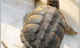 鳄鱼龟怎么饲养问答鳄鱼龟吃什么食物问答