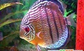 鱼融水养鱼心得之三(图)