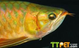 详细图解龙鱼的掉眼手术