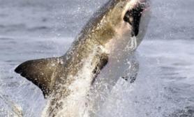 大白鲨捕食瞬间(多图)