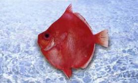 鱼类知识高菱鲷