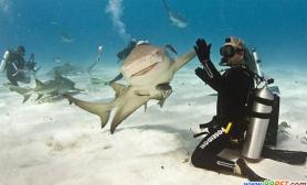 鲨鱼微笑与潜水员击掌问好(图)