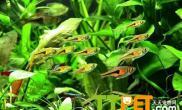 灯鱼小瓜虫病的预防和治疗