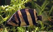 观赏鱼的鱼鲺病(图)