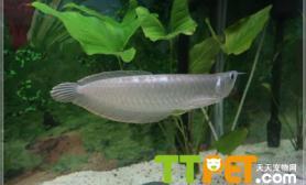 银龙鱼的体态特征有哪些