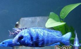 蓝宝石鱼的饲养环境
