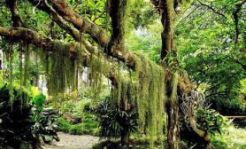 热带雨林下垂的蓑衣草胡须草的效果用什么实现