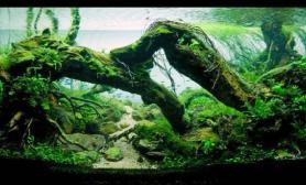 绝美的沉木缸造景水草缸令人打开眼界