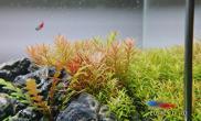 45X30X30小缸水草缸更新20天状态水草缸红红绿绿就挺好看水草缸呵呵鱼缸水族箱