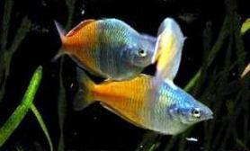 关于彩虹鱼(图)