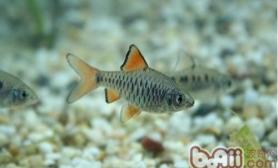 七星灯鱼的繁殖注意事项
