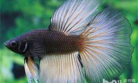 观赏鱼混养小贴士