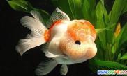 饲养金鱼冬春疾病的防治技术(图)