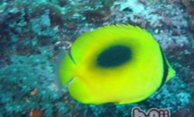 镜斑蝴蝶鱼的饲养环境