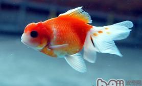 金鱼繁殖期产卵的注意事项