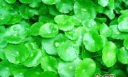 水草束植法的种植