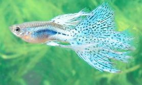 孔雀鱼的饲养对水质有何要求