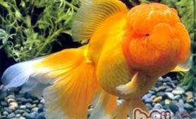 夏季为金鱼换水的方法