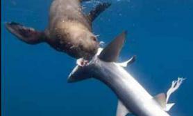 凶猛海豹吞食五条鲨鱼(图)