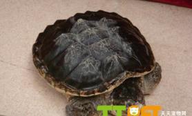 鳄鱼龟到底好不好养