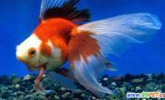 夏季养金鱼需注意这4点(图)