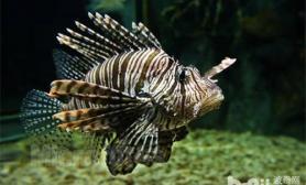 海水鱼不开口的原因分析