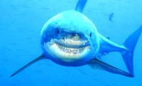 大白鲨也会咧嘴笑